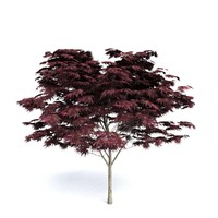 max dark red maple