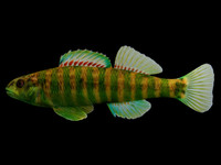 3d model etheostoma zonale banded darter