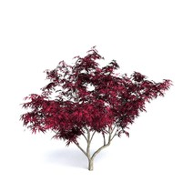 3d model red japanese maple