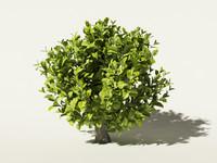 max tea bush