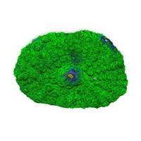 3d model rhodactis coral