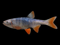 3d model lythrurus umbratilis redfin shiner