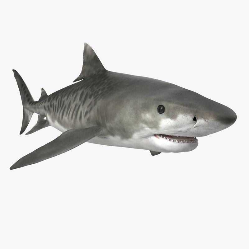 Tiger Shark 3d model 01.jpg