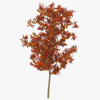 3d young white oak autumn