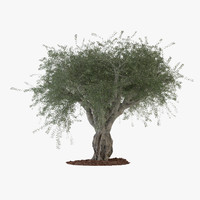 Big Ornamental Olive Tree