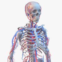 3d skeleton circulatory