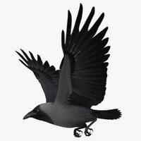 corvus splendens house crow 3d model