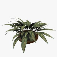 3d model aglaonema crispum
