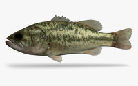 micropterus salmoides largemouth bass 3d x