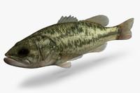 micropterus salmoides largemouth bass 3d ma