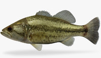 Micropterus salmoides  Largemouth Bass