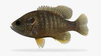 3d model lepomis cyanellus green sunfish