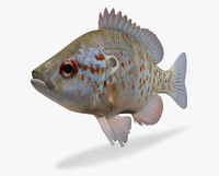 lepomis humilis orangespotted sunfish ma