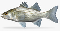 morone chrysops white bass fbx