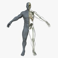 maya male skeleton skin body