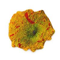 3d jawbreaker mushroom coral model