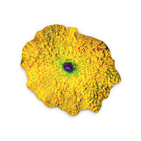 yellow discosoma mushroom coral 3d max