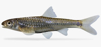 3d notropis stramineus sand shiner model