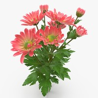 pink chrysanthemum fbx