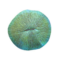3d model of fungia plate coral