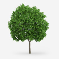 3d model norway maple 9m