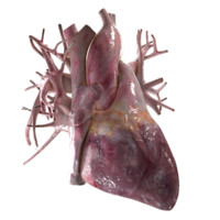 human heart beating 3d model