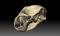 raccoon skull 3d model