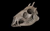c4d tufted deer elaphodus cephalophus