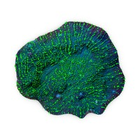 3d model chalice coral