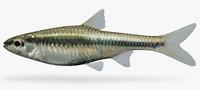 notropis heterodon blackchin shiner x