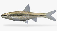 notropis heterolepis blacknose shiner 3d model