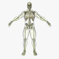 central nervous skeleton organization 3d ma