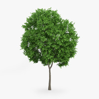 3d model norway maple 8m