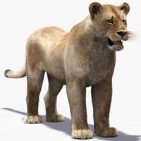 lioness fur obj