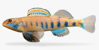 etheostoma obama spangled darter ma