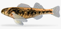 etheostoma tennesseense tennessee darter 3d model