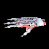 3d model anatomy human hand muscles