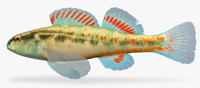 etheostoma pyrrhogaster firebelly darter fbx