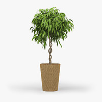 3d model ficus amstel king-braid