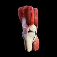 3ds human knee