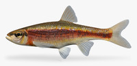 3d clinostomus funduloides rosyside dace model