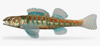 etheostoma exile iowa darter 3d ma