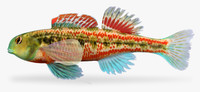 maya etheostoma barrenense splendid darter