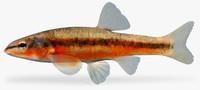 rhinichthys atratulus eastern blacknose 3d ma