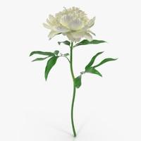 peony white 3d model