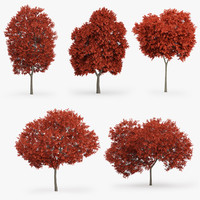 5 Red Maple Trees