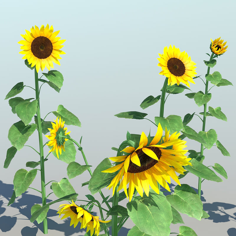 TS_Sunflower_001_10.jpg