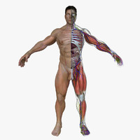 3d model ultimate complete male anatomy