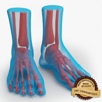 foot anatomy 3d model