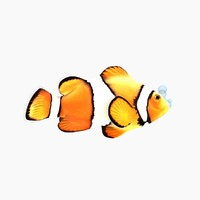Cartoon Clownfish Character Rigged